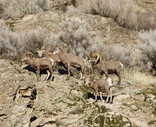Rock Climbing Photo: California Mtn Sheep seen from the orchard parking...