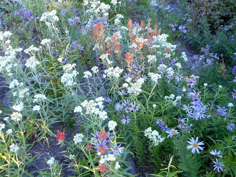 Wildflowers along the Timberline Trail.