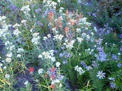 Rock Climbing Photo: Wildflowers along the Timberline Trail.