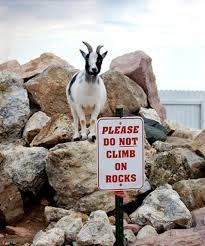 Don't be this goat