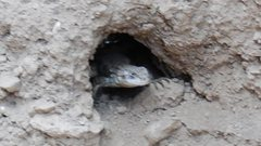 Rock Climbing Photo: TC lizard