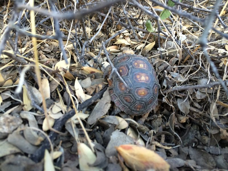 Watch out for tortoises! They like to sunbathe on the trail sometimes.  Adults are easy to avoid but this one was the size of a golfball !!!!