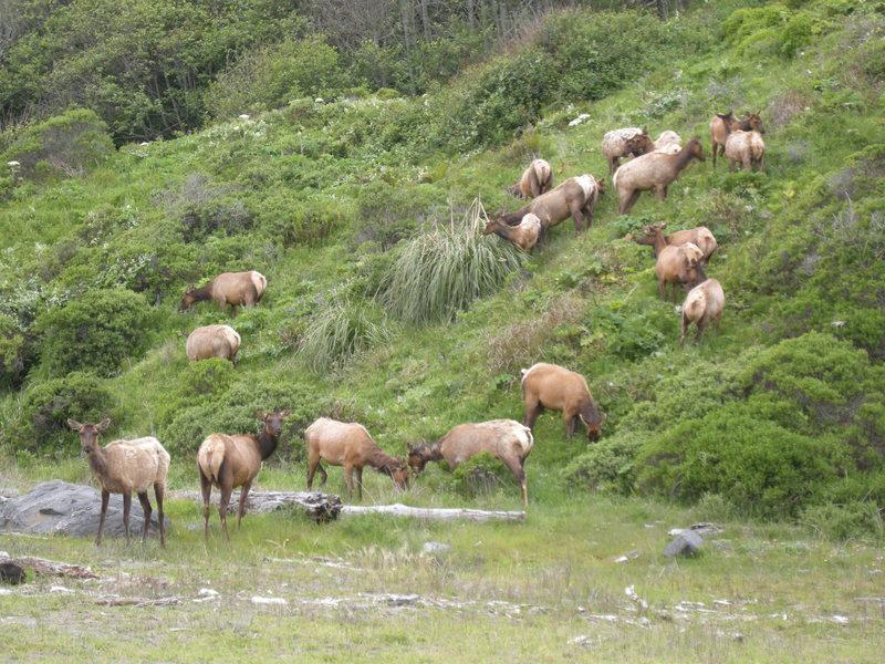 Herd of elk in Redwood N.P.