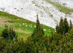 Rock Climbing Photo: Goat herd in Mt. Rainier N.P. enroute to Emmons Gl...