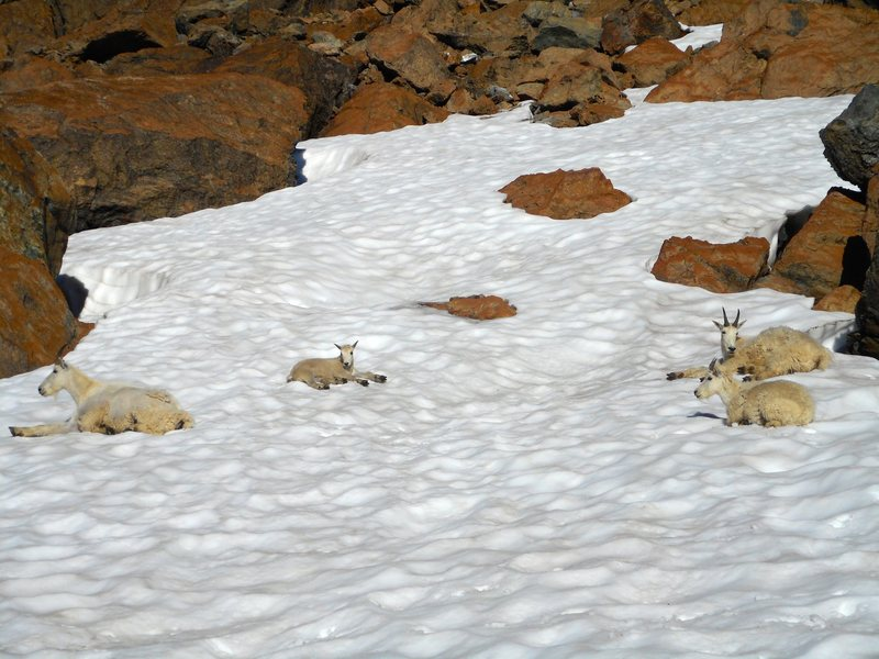 Resident goats in the Alpine Lakes Wilderness.