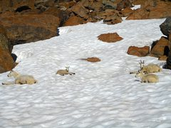 Rock Climbing Photo: Resident goats in the Alpine Lakes Wilderness.