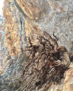 Rock Climbing Photo: The gnarled tree in the bat cave.