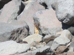 Rock Climbing Photo: Weasel on Mt. Jefferson.