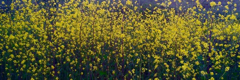 Mustard Flora!!!
