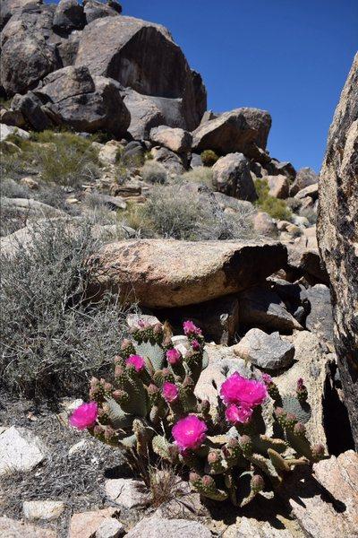 Rock Climbing Photo: Desert blooms 8)