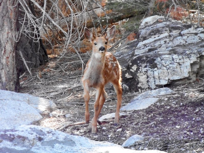 Curious fawn near Whorl Mt.