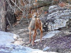 Rock Climbing Photo: Curious fawn near Whorl Mt.