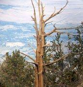 Rock Climbing Photo: Bristlecone Pine with a view, White Mountains