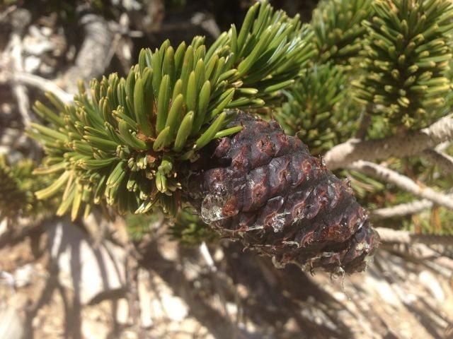 Rock Climbing Photo: Bristlecone Pine cone detail, White Mountains