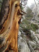 Rock Climbing Photo: The Ummagumma Tree awaits, after descending from T...