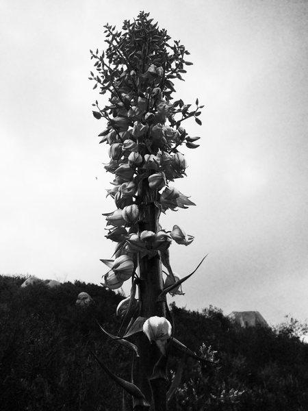 Tonal Yucca Flora!!!