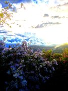 Rock Climbing Photo: Chronic Mountain lilac!!