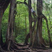 tree climbing in Bali