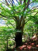 Rock Climbing Photo: Shady birch trees at the base of Sperone Degli Gno...
