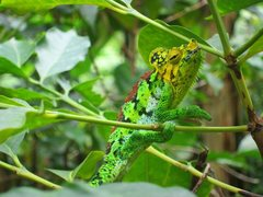 Rock Climbing Photo: Local climber, hanging out in the coffee bushes be...
