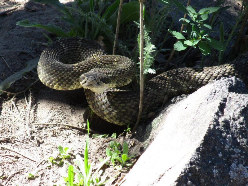 Watch out for rattlesnakes on the approaches! This guy was in the shadows right on the trail. April 2016. Approach to The Bend.
