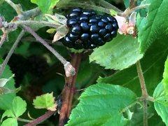 Rock Climbing Photo: black berries, bushels on approach