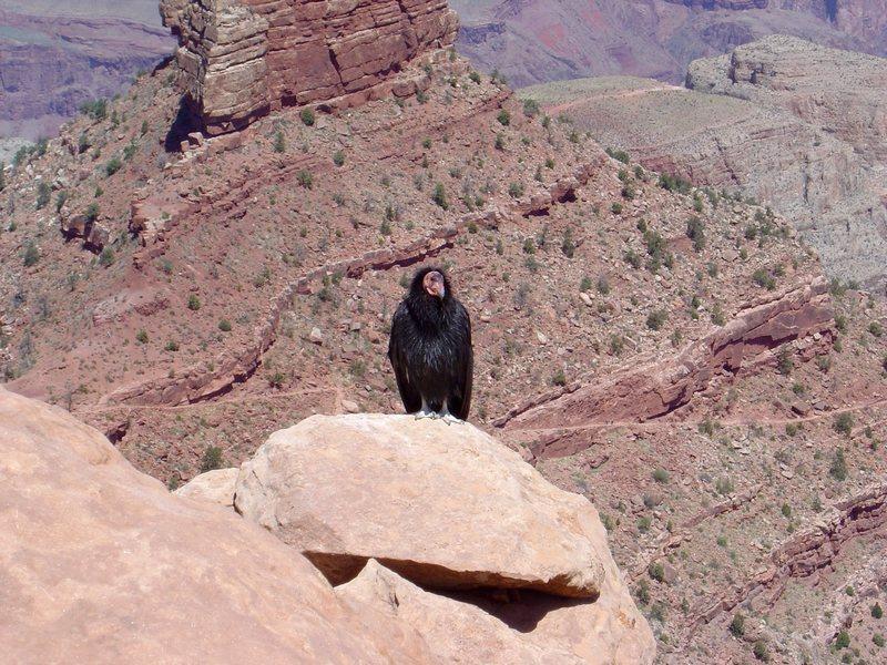 CA. condor, making a comeback in the Grand Canyon.