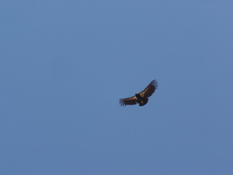 CA condor in flight.
