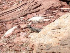 Rock Climbing Photo: Collared lizard.