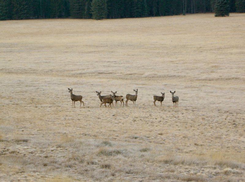 Rock Climbing Photo: Deer herd on north rim G.C.N.P.