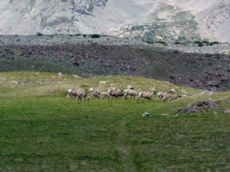 Sheep near Blanca Peak.