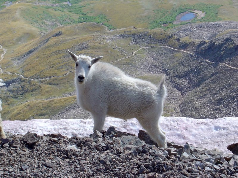 Rock Climbing Photo: Kid goat.