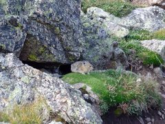 Rock Climbing Photo: The always busy Pika.