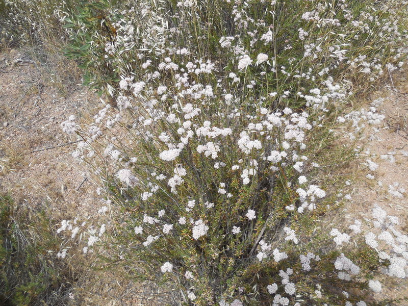 Wildflowers blooming at Texas Canyon.