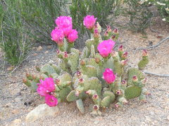 Rock Climbing Photo: The cactus are blooming at Texas Canyon.
