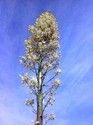 Rock Climbing Photo: Chaparral Yucca (Yucca whipplei) bloom, Horsemen's...