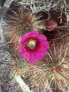 Rock Climbing Photo: Englemann Hedgehog cactus (Echinocereus engelmanni...