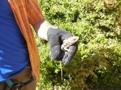 Rock Climbing Photo: Northern Alligator Lizard.