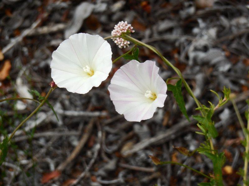 Wildflowers at Saddle Peak.