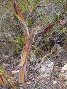 Rock Climbing Photo: Manzanita (Arctostaphylos glauca) near the Y Crack...