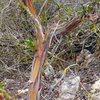 Manzanita (<em>Arctostaphylos glauca</em>) near the Y Crack, Dixon Lake