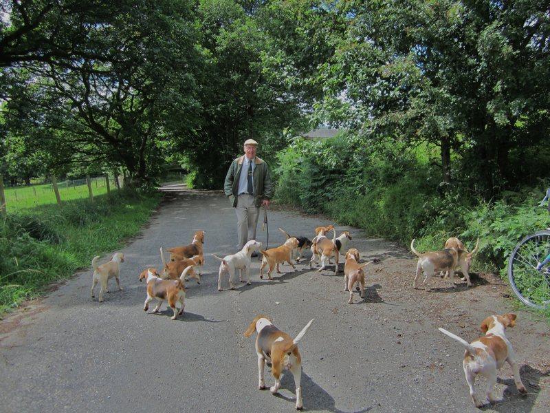 Pack of Beagle Hounds .. Threlkeld .. Cumbria
