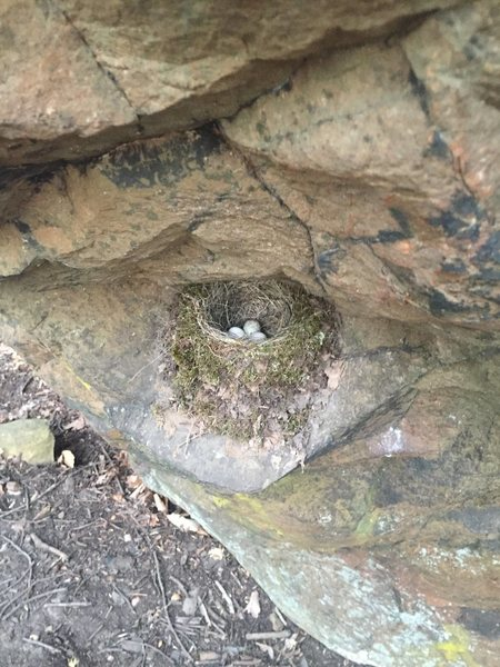 Active bird's nest on Frankenrock