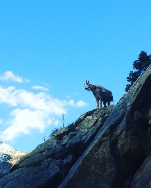 i guess goats can climb 5.8...