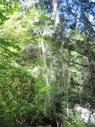 Rock Climbing Photo: Vine maple with abundance of the relatively rare M...