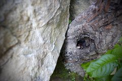 Rock Climbing Photo: Baby Copperhead guarding the start of the 1st Pitc...