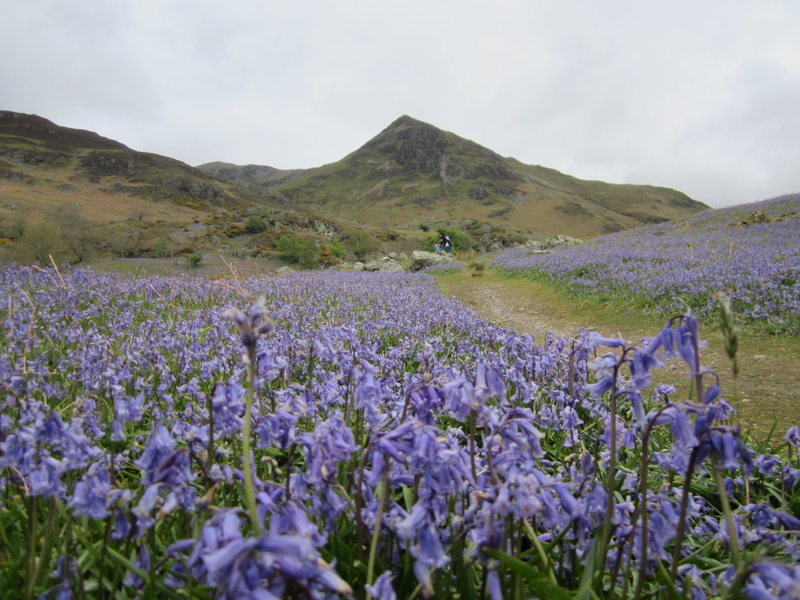 Bluebells at Martindale