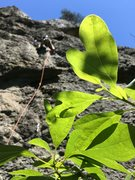 Rock Climbing Photo: Peaking through the leaves on a sunny morning at c...