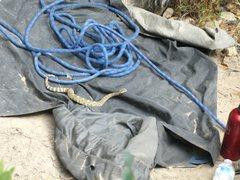 Rattlesnake that fell from above