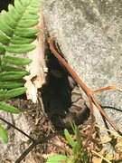 Rock Climbing Photo: many vipers live at North Cedar